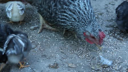 baby chicken : Chicken with chicks pecking grain in poultry. Hen mother. Hen with chickens. Closeup of mother chicken with baby chicks eating grain on ground. Chicks with their mom eating at farm