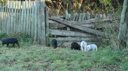 Piglets playing and jolly run in farm yard. Funny pigs. Young baby piglets play in yard. Farm animals. Piglets running in rural yard