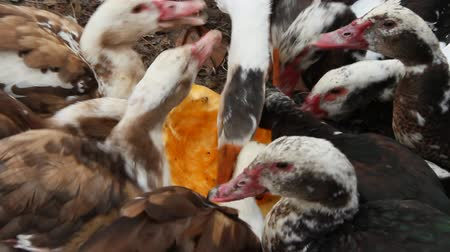 waddling : Ducks geese and muscovy ducks eat pumpkin in poultry. Poultry feeds in yard. Domestic birds eating. Farm birds eating raw pumpkin on poultry closeup