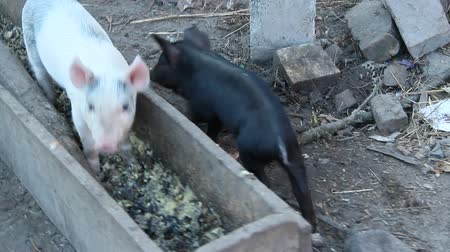 Little piglets eat from trough and jolly run on farm yard. Funny pigs. Young baby piglets play in yard. Feeding of little pigs