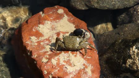 Close up of small red crab crawling on stone. Crab creeping on pebble. Alone crab crawling on stony surface near Red sea