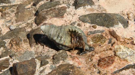 Close up of hermit crab crawling on stone. Hermit crab in screw shell. Alone hermit crab crawling on stony surface near Red sea Stok Video