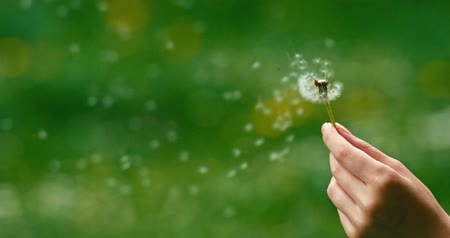 vento : Dandelion being blown in slow motion 120 fps. Filmed in 4K DCi resolution. Dandelion seeds are being blown and flying away on a green background. Vídeos