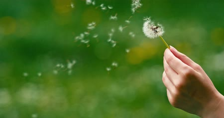 dmuchawiec : Dandelion being blown in slow motion 120 fps. Filmed in 4K DCi resolution. Dandelion seeds are being blown and flying away on a green background. Wideo