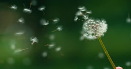 tohum : Dandelion being blown in slow motion 120 fps. Filmed in 4K DCi resolution. Dandelion seeds are being blown and flying away on a green background. Stok Video
