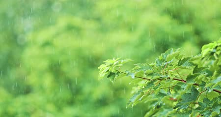 esőerdő : Rain in Slow Motion. Rain drops falling on green tree leaves, close up. Stock mozgókép