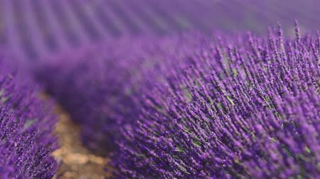 levandule : Beautiful Blooming Lavender Flowers swaying in the wind. Close Up. SLOW MOTION 120 fps. Lavender Season on Plateau du Valensole, Provence, South France, Europe. Calm Cinematic Nature Background.
