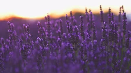 kırsal : Beautiful Blooming Lavender Flowers swaying in the wind against Sunset Sky. SLOW MOTION 120 fps 4K. Close Up. Plateau du Valensole, Provence, South France, Europe. Nature Background.