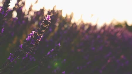 francês : Sunset Sun Shining through Beautiful Blooming Lavender Flowers. SLOW MOTION 120 fps. Close Up Dolly Shot. Plateau du Valensole, Provence, South France, Europe. Cinematic Nature Background. Lens Flare.