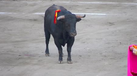 tradição : Spanish Fighting Bull. Toro de lidia. bullfight arena. Bullfighter Stock Footage
