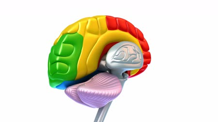 gergin : Brain lobes in different colors isolated on white Stok Video