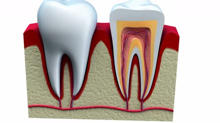 raiz : Anatomy of healthy teeth in details