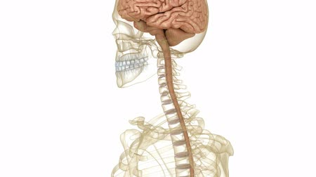 imagem : Brain and skeleton, human anatomy. Medically accurate 3D animation Vídeos
