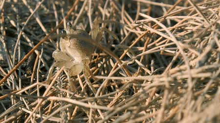 yırtıcı hayvan : Little crab in the grass