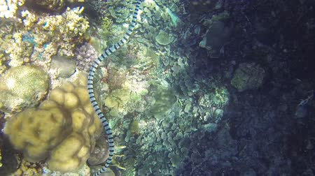 krait : Sea snake under water sea coral reef