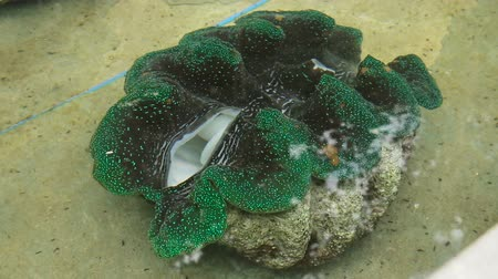 common salt : Farm giant clams,tridacna.