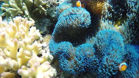 underwater video : Sea anemone and clown fish