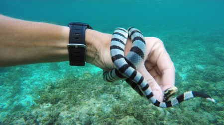 krait : Sea snake on a mans hand.4K video,ultra HD.Travel concept,Adventure concept Stock Footage