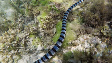 takip etmek : Banded Sea Snake on coral reef.tropical underwater world. Stok Video