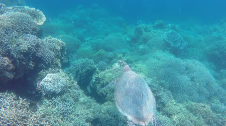 biodiverzitás : Sea turtle swimming by coral reef.Diving and snorkeling in the tropical sea.Travel concept,Adventure concept.
