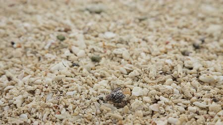 temas animais : Hermit crab crawling on the shells and stones on the beach.