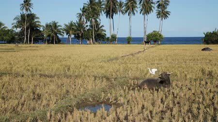 клык : Bull grazing on the rice field,blue sky, coconut trees, ocean.White bird sits on the back of the bull. Стоковые видеозаписи