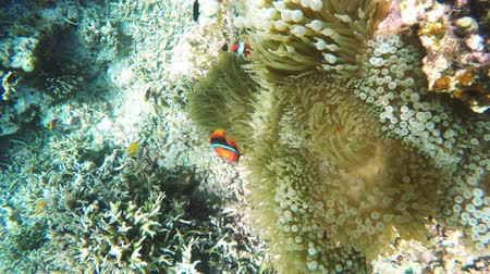 domates : Clownfish on the soft coral,anemone.Many reef fish in the tropical sea on a coral reef.tropical underwater world.Diving and snorkeling in the tropical sea.Travel concept. Stok Video