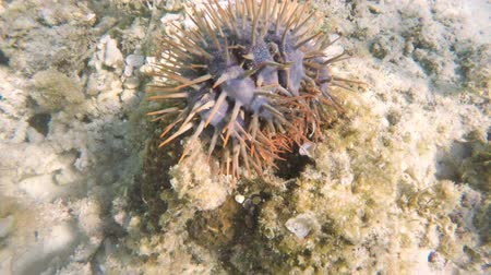speciality : crown of thorns starfish on the coral - scuba diving the coral reef.