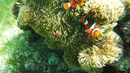 philippine : Clownfish on the soft coral,anemone. Stock Footage