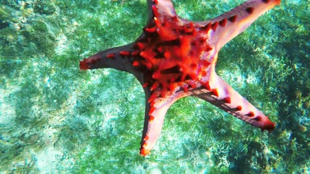reticulatus : Red starfish slowly sinks to the bottom of the sea.Travel concept,Adventure concept