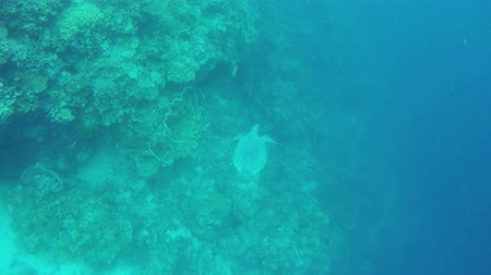 maldivler : Sea turtle swimming by coral reef. Stok Video