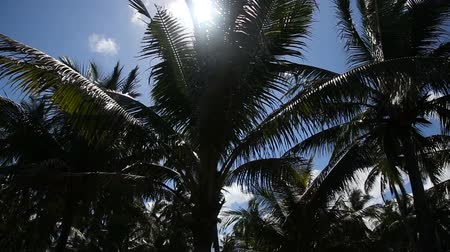 kayran : grove of coconut trees on a sunny day in camiguin island,Philippines.