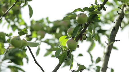 apple tree : Green young apples on a branch of apple tree in the garden Stock Footage