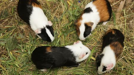 świnka morska : Guinea pigs outdoors walking on the grass.Guinea pig eating grass Wideo