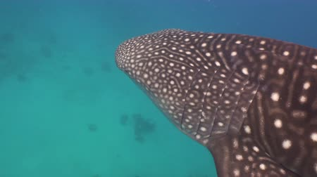 wieloryb : Whale Shark swimming in the clear blue water. Rhincodon typus. Whale shark underwater. 4K video, Philippines, Oslob.. Wonderful and beautiful underwater world.