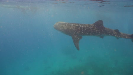 кит : Whale Shark swimming in the clear blue water. Rhincodon typus. Whale shark underwater. 4K video, Philippines, Oslob.. Wonderful and beautiful underwater world.