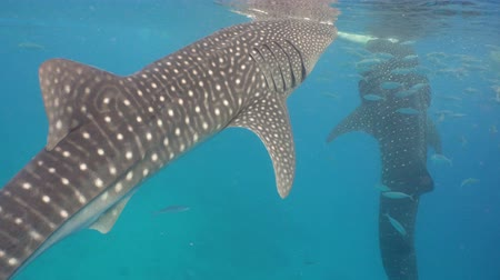 underwater video : Whale Shark swimming in the clear blue water. Rhincodon typus. Whale shark underwater. 4K video, Philippines, Oslob.. Wonderful and beautiful underwater world.