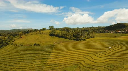 montanhoso : Rice field with yellowish green grass. Aerial view: rice plantation with hilly mountains landscape. Terrace rice field from aerial view. Philippines, Bohol. 4K video. Aerial footage.