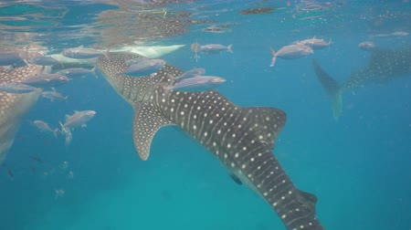 yüzgeçler : Whale Shark swimming in the clear blue water. Rhincodon typus. Whale shark underwater. 4K video, Philippines, Oslob.. Wonderful and beautiful underwater world.