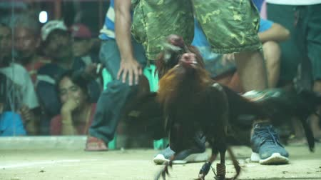 drůbež : Cock fighting in the ring in the Philippines. Cockfighting with blades attached to the legs.. National entertainment in the Philippines. 4K video.