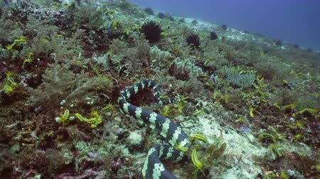 krait : Sea snake on coral reef. Banded Sea Snake underwater.Wonderful and beautiful underwater world. Diving and snorkeling in the tropical sea. 4K video.