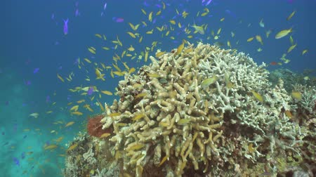 coral garden : Fish and coral reef. Tropical fish on a coral reef. Wonderful and beautiful underwater world with corals and tropical fish. Hard and soft corals. Diving and snorkeling in the tropical sea. Travel concept. 4K video. Stock Footage