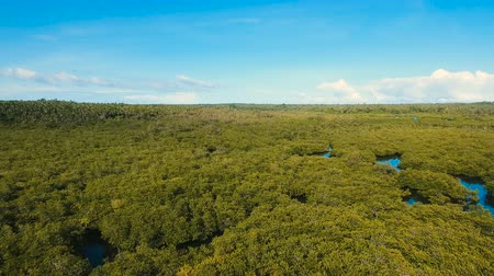 マングローブ : Aerial view of mangrove forest and river on the Siargao island. Mangrove jungles, trees, river. Mangrove landscape. Philippines. 4K video. Aerial footage