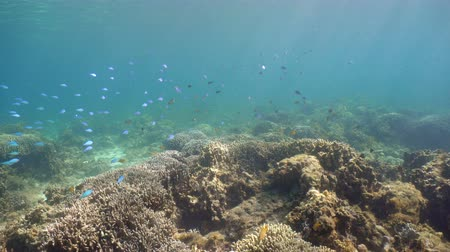 atol : Fish and coral reef. Tropical fish on a coral reef. Wonderful and beautiful underwater world with corals and tropical fish. Hard and soft corals. Diving and snorkeling in the tropical sea. 4K video. Stok Video