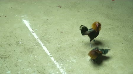 cockfighting : Cock fighting in the ring in the Philippines. Cockfighting with blades attached to the legs.. National entertainment in the Philippines. 4K video.