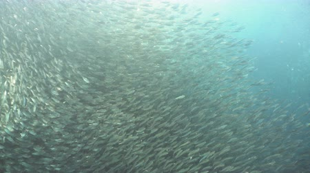 hering : Sardines under water. Shoal sea sardines in the blue water of the ocean. Wonderful and beautiful underwater world with tropical fish. Diving and snorkeling in the tropical sea. 4K video. Philippines, Moalboal.