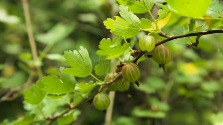 agrest : Grows ripe gooseberries on a branch.Green Gooseberries. Growing Organic Berries Closeup On A Branch Of Gooseberry Bush. Ripe Gooseberry In The Fruit Garden.