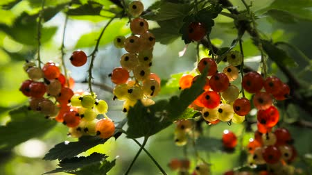 смородина : Red Currant hanging on a bush in the garden.Red currant ripening on the branch.Red currant close up.