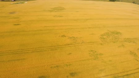 fazenda : Aerial view wheat field. Golden wheat field. Yellow grain ready for harvest growing in a farm field. Aerial footage, 4k.