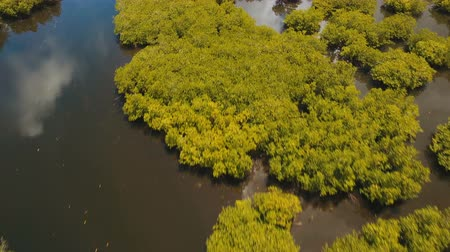 gyertyafa : Aerial view of mangrove forest and river on the Siargao island. Mangrove jungles, trees, river. Mangrove landscape. Philippines. 4K video. Aerial footage